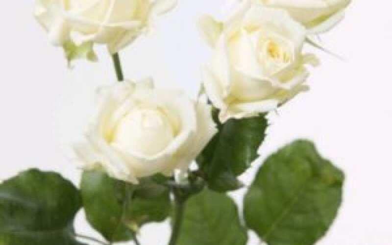 Роза кустовая Vite