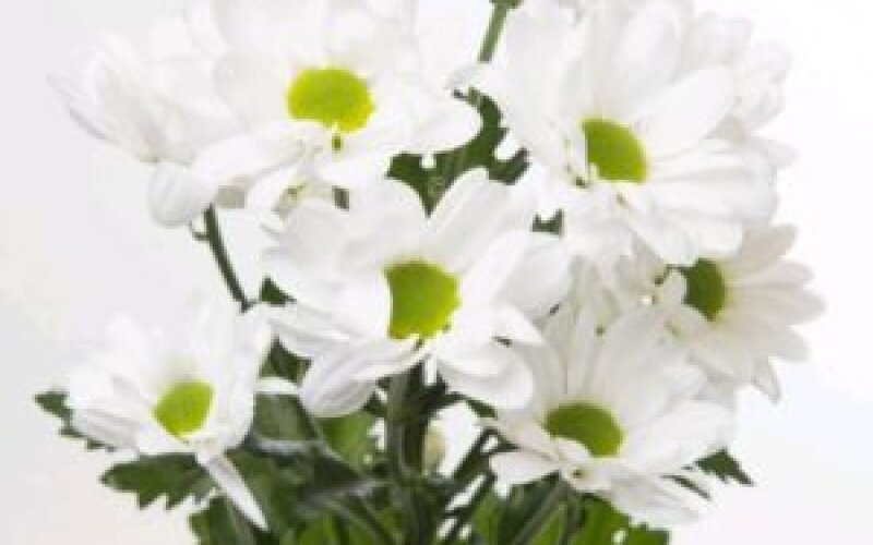 Хризантема (ромашка)