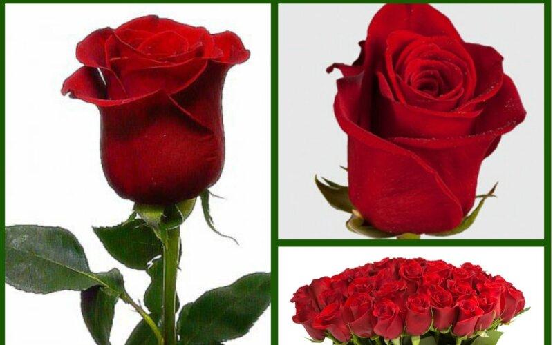Роза красная RED NAOMI