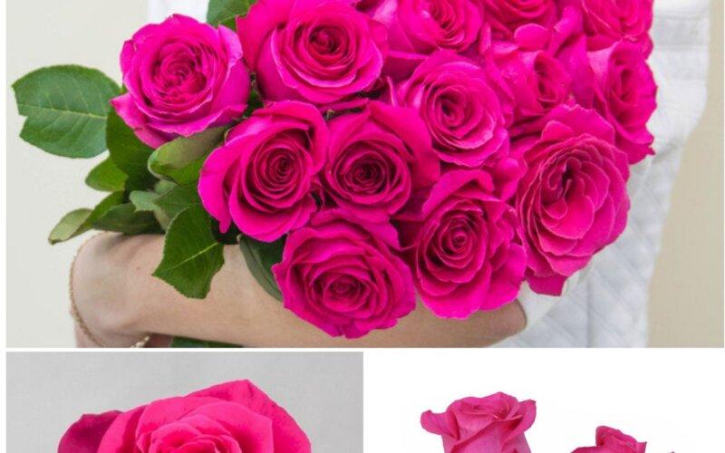 Роза розовая PINK FLOYD