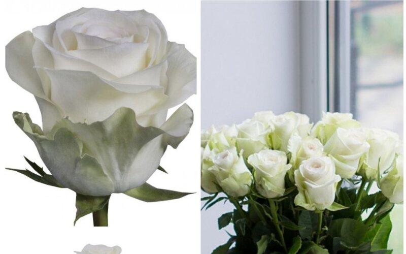 Роза белая PROUD