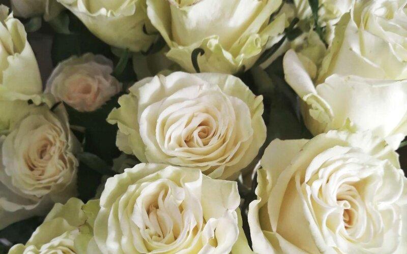 Роза белая «Мондиаль»
