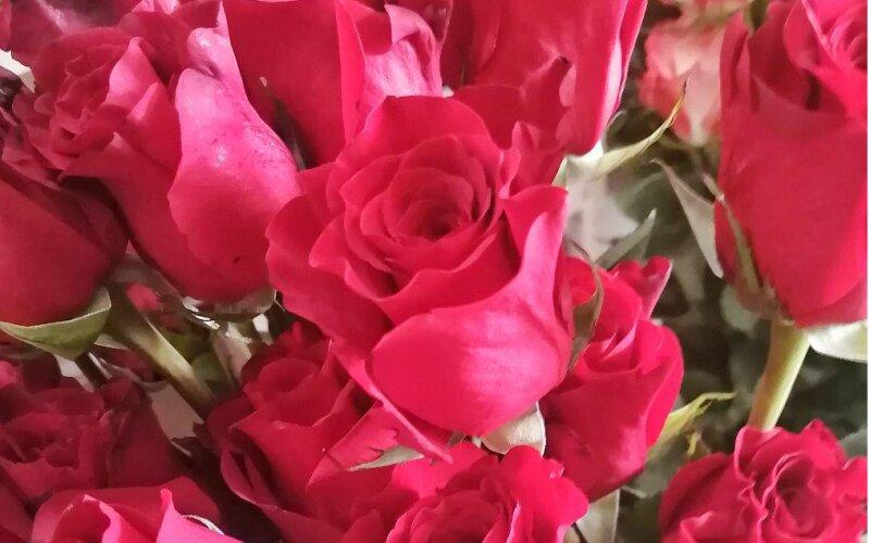 Роза красная «Фридом»