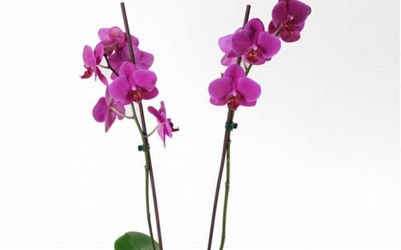Орхидея «Фалинопсис»
